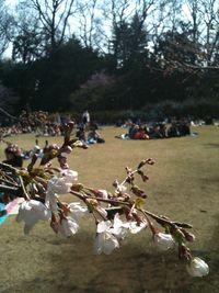 新宿御苑の花見風景